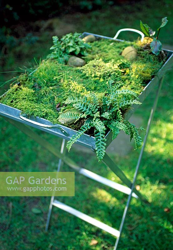 Mosses and ferns in a shallow tray
