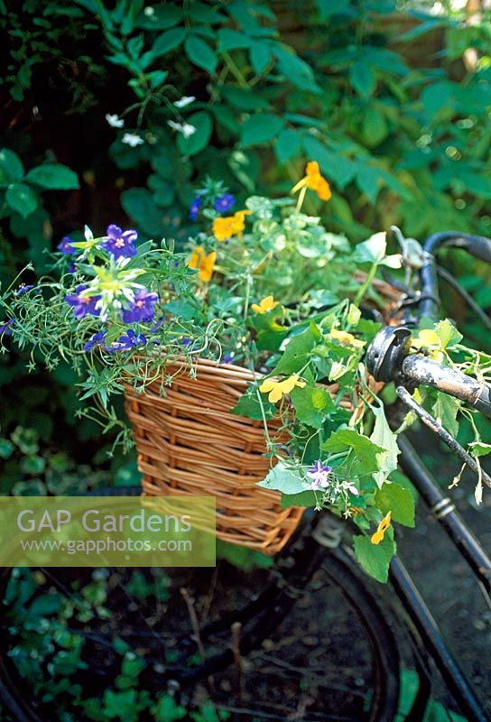 Annual plants in a bicycle basket