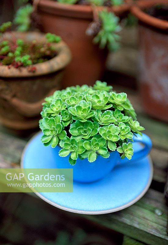 Alpine Saxifrage in a blue cup and saucer