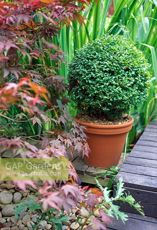 Topiary box in a container on decking with Acer