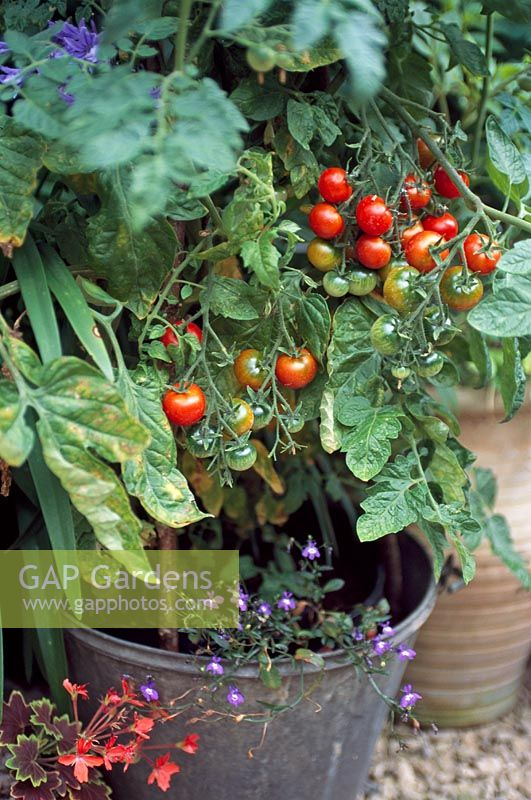 Tomatoes growing in a galvanised bucket