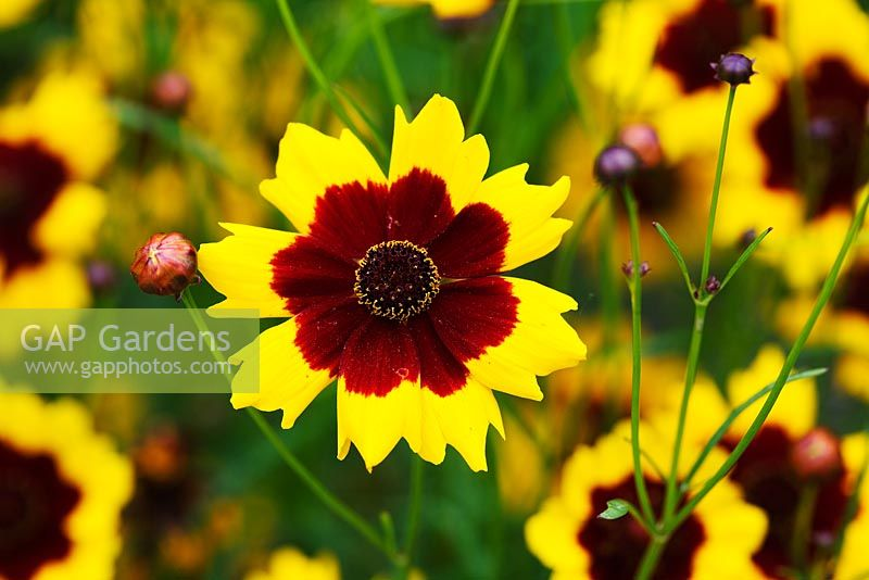Coreopsis tinctoria - Lost Gardens of Heligan in Cornwall