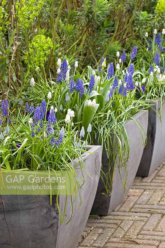 Muscaris in deep stone containers in Spring