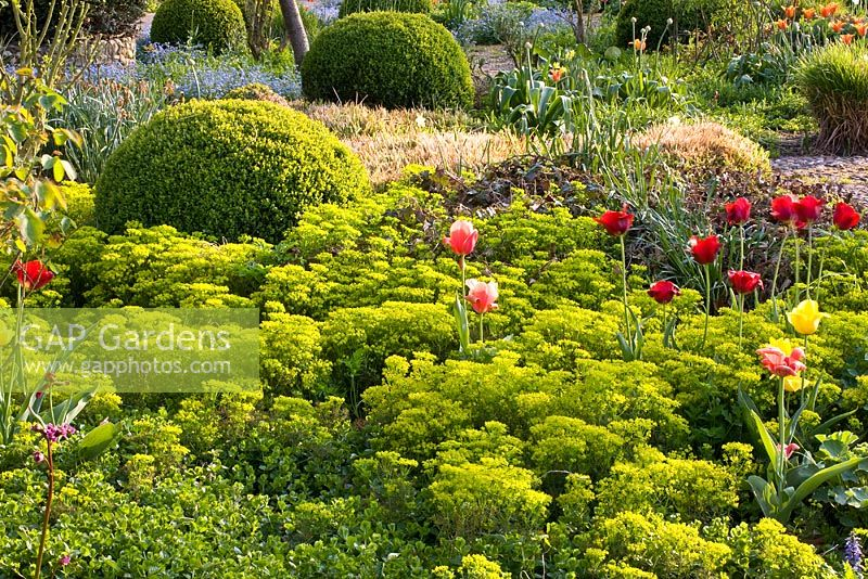 Spring border with Tulips and Euphorbia cyparissias