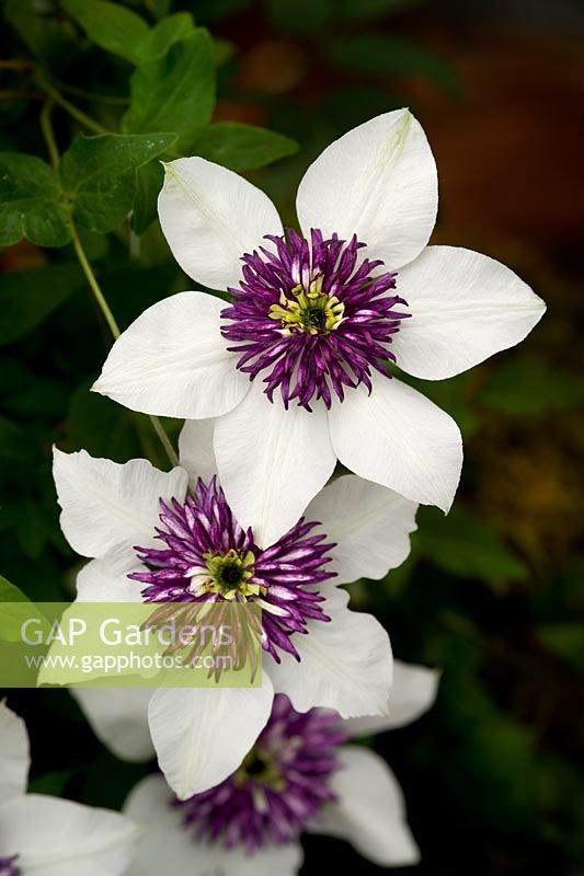 gap gardens clematis florida 39 sieboldii 39 image no. Black Bedroom Furniture Sets. Home Design Ideas