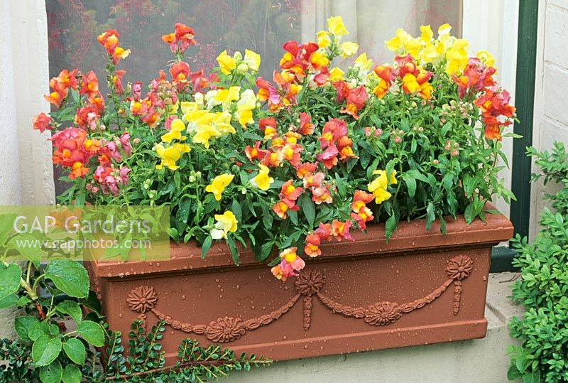 Summer window box planted with snapdragons, Antirrhinum 'Oranges and Lemons'