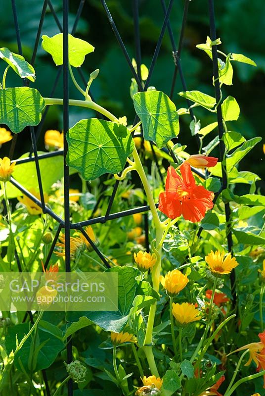 Nasturtiums and Calendulas growing through a support frame in the Ornamental Kitchen Garden - Wild Rose Cottage, Lode, Cambridge