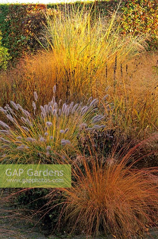 gap gardens sporobolus heterolepis pennisetum alopecuroides 39 cassian 39 panicum virgatum. Black Bedroom Furniture Sets. Home Design Ideas