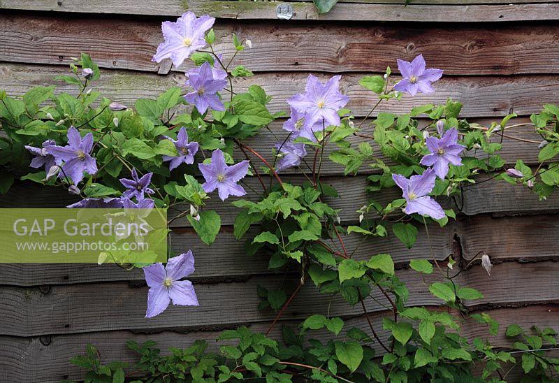 gap gardens clematis viticella 39 blue angel 39 growing on. Black Bedroom Furniture Sets. Home Design Ideas