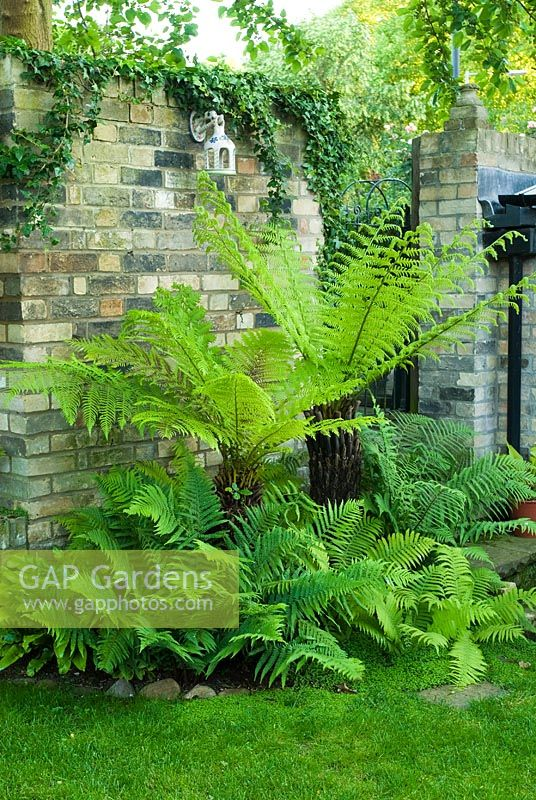 Dicksonia antarctica, Dryopteris filix mas and other Ferns with ground cover of Soleirolia soleirolii - New Square, Cambridge