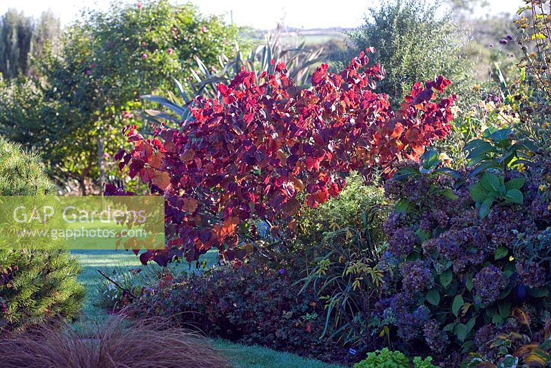 Cercis canadensis 'Forest Pansy' in a small country garden in Autumn