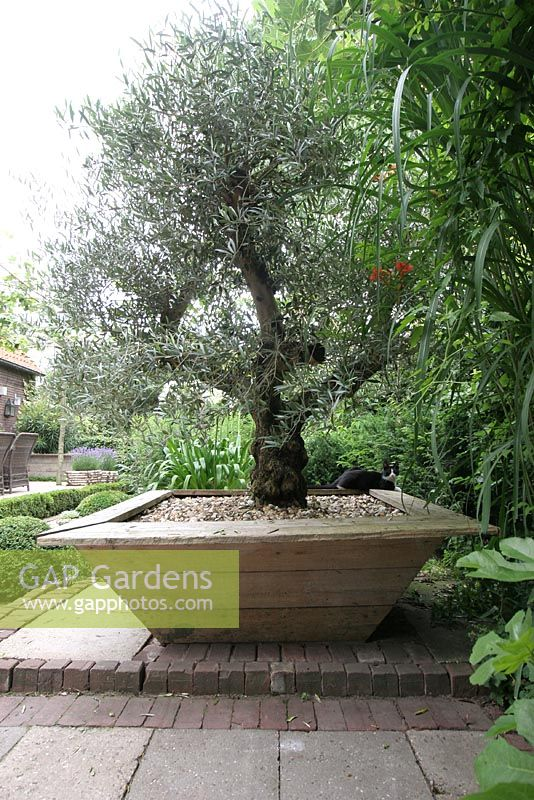 gap gardens olive tree in large pot on paved terrace in. Black Bedroom Furniture Sets. Home Design Ideas