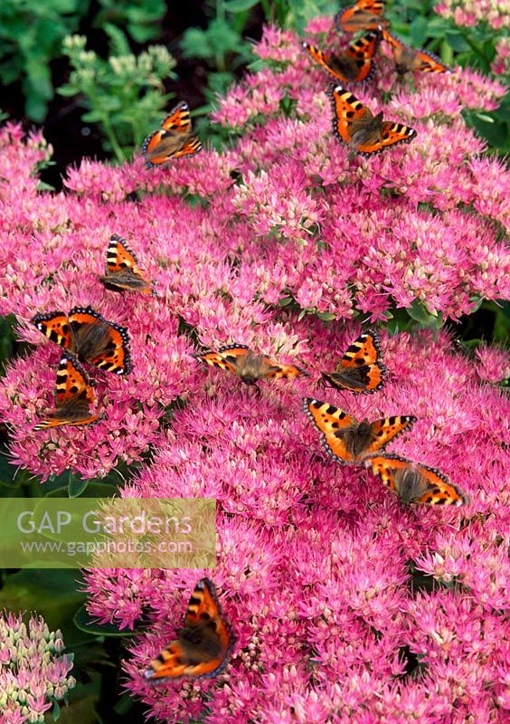 Sedum 'Autumn joy'  with Red Admiral Butterflies