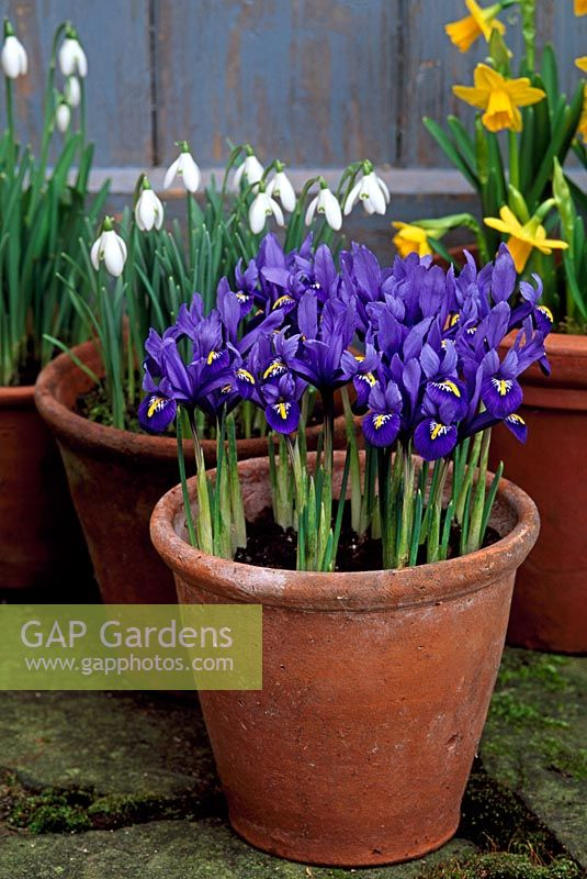 Bulbs in pots - Iris reticulata 'Harmony' Narcissus and Galanthus nivalis