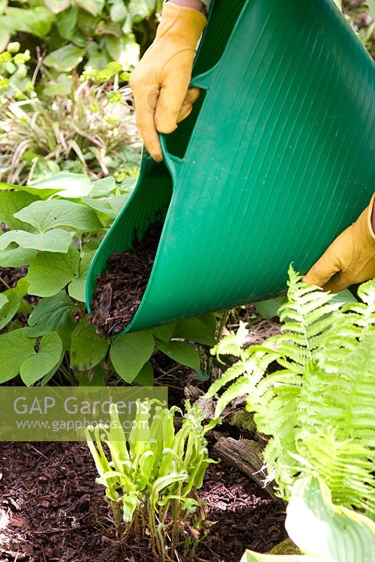 Mulching shade plants with composted wood chips