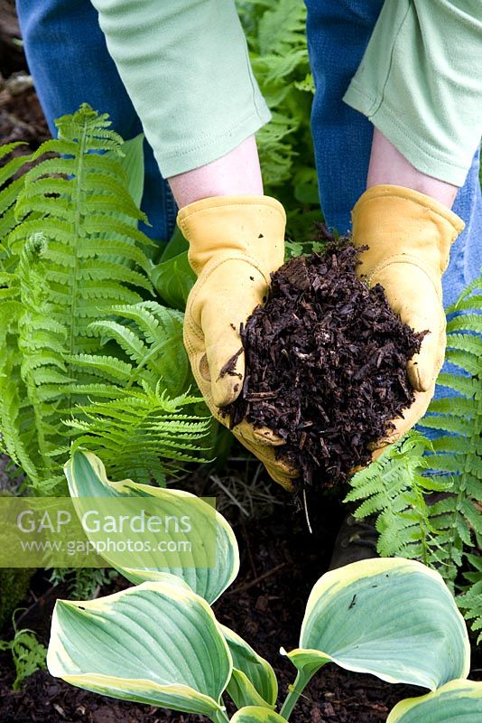 Mulching shade plants with composted wood chips to prevent weeds and retain moisture