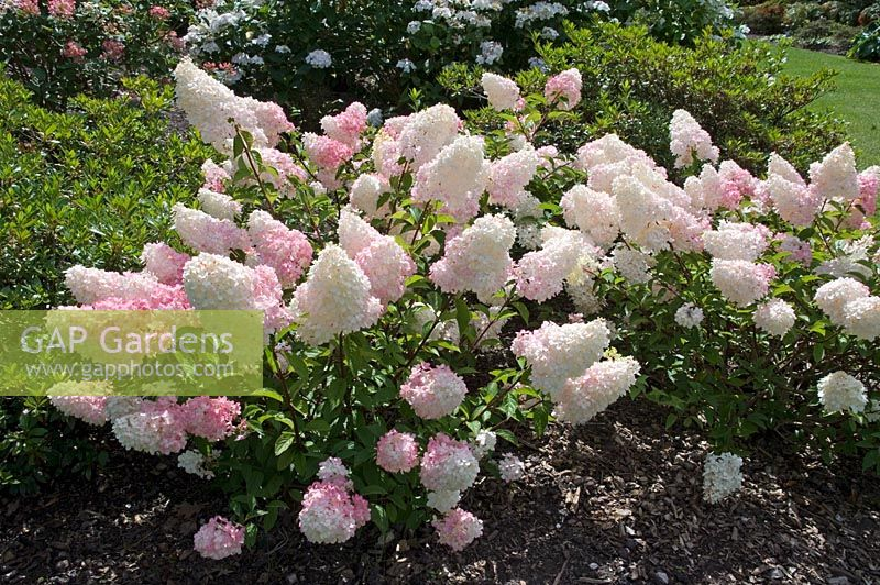 gap gardens hydrangea paniculata vanille fraise 39 renhy 39 at wisley gardens surrey image no. Black Bedroom Furniture Sets. Home Design Ideas