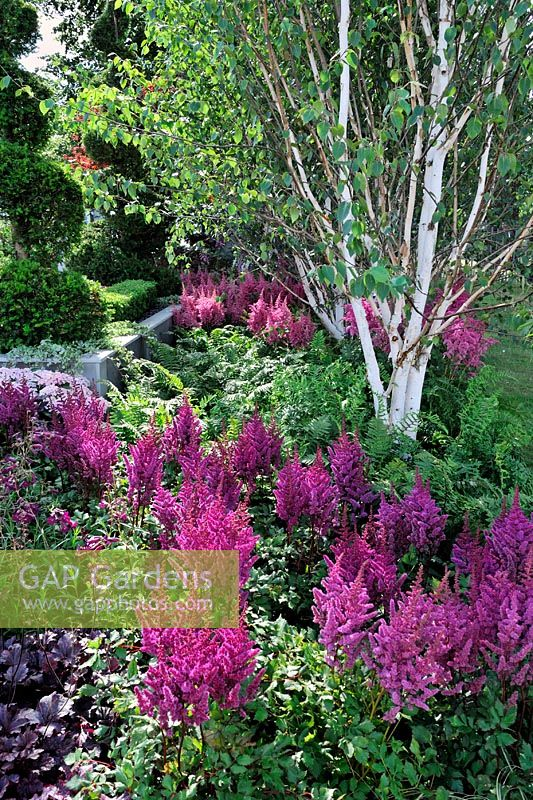gap gardens astilbe 39 visions in red 39 with betula birch