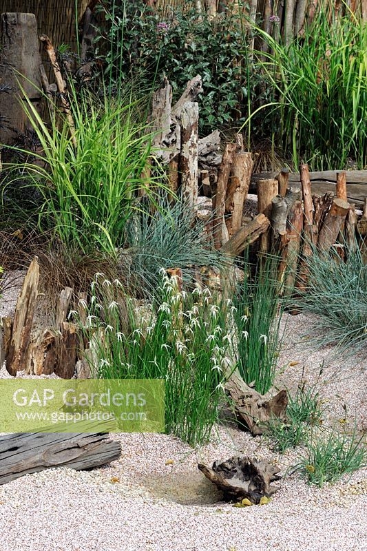 Dichromena Colorado with mixed grasses in a seaside garden with HCFS