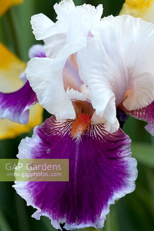 Iris germanica 'Ringo' - Tall Bearded Iris