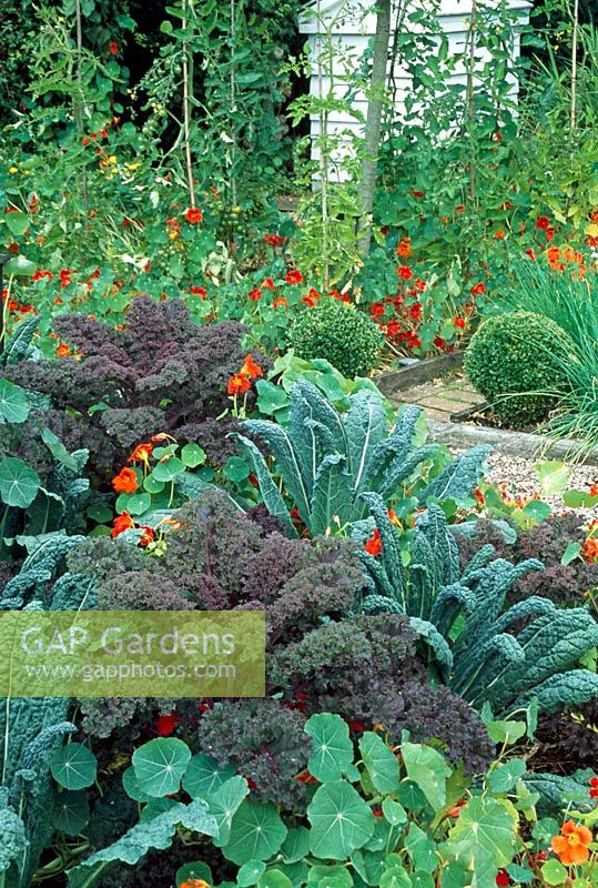View across vegetable garden in Veddw House garden. Monmouthshire, Wales. Kale 'Cavolo Nero' and 'Red Bor' with Tropaeolum - Nasturtiums in foreground. Tomatoes and beehive compost heap behind
