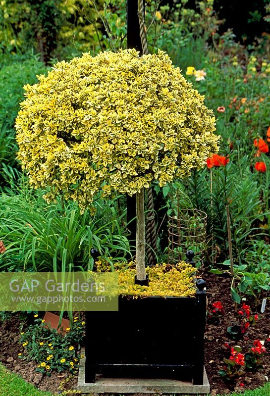 GAP Gardens Euonymus fortunei Emerald n Gold grown as standard