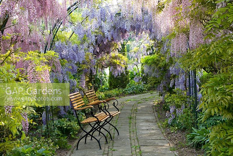 Wisteria floribunda 'Rosea' and Wisteria Sinensis growing on Pergola with path running underneath it