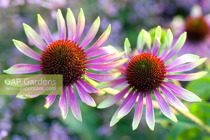 gap gardens echinacea purpurea 39 green envy 39 image no. Black Bedroom Furniture Sets. Home Design Ideas