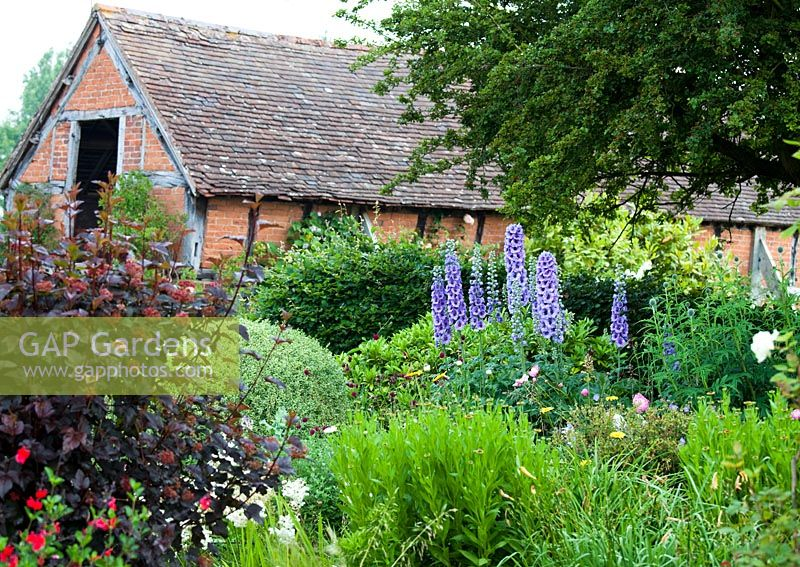 Eastgrove Cottage garden - Delphiniums with the barn in the background