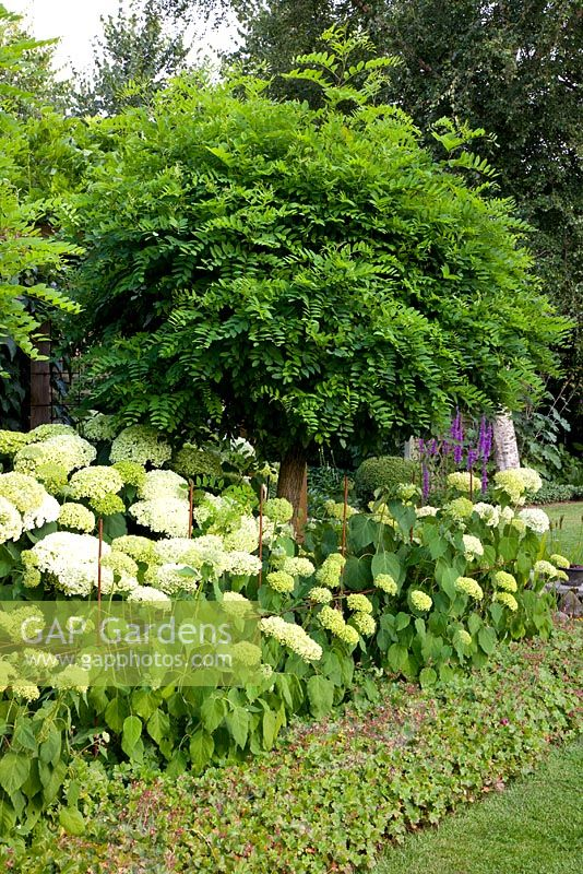 gap gardens robinia pseudoacacia 39 umbraculifera 39 underplanted with hydrangea arborescens. Black Bedroom Furniture Sets. Home Design Ideas