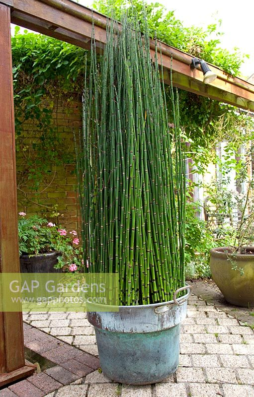gap gardens equisetum japonicum growing in metal container image no 0166621 photo by elke