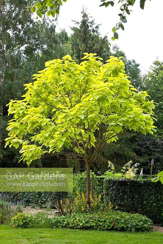 gap gardens catalpa bignonioides 39 aurea 39 image no 0167047 photo by elke borkowski. Black Bedroom Furniture Sets. Home Design Ideas