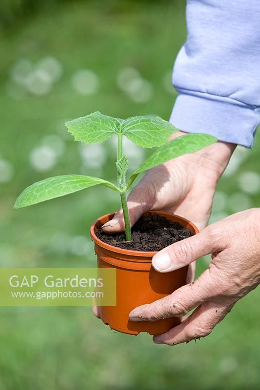 Planting out pot grown Butternut Squash plants. Person holding plastic pot with seedling