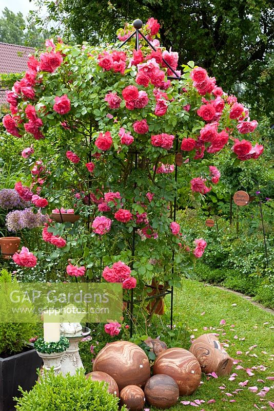 gap gardens rosa 39 rosarium uetersen 39 growing on obelisk. Black Bedroom Furniture Sets. Home Design Ideas