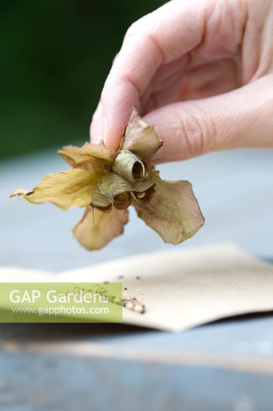 Saving seeds from a Helleborus x hybridus seed pod