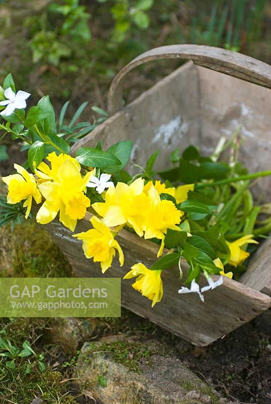 Trug with Vinca difformis - Periwinkle and Narcissus - Daffodils