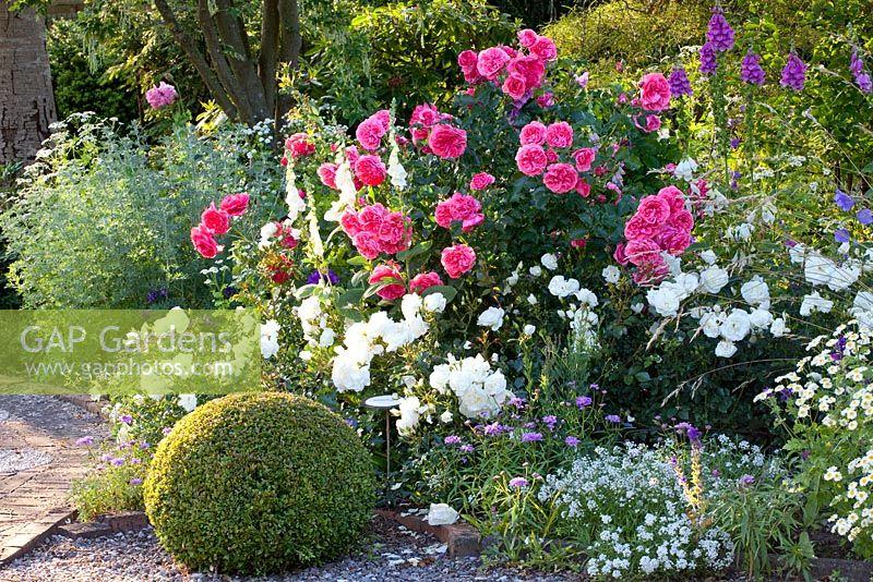 gap gardens mixed border with digitalis rosa 39 rosarium. Black Bedroom Furniture Sets. Home Design Ideas
