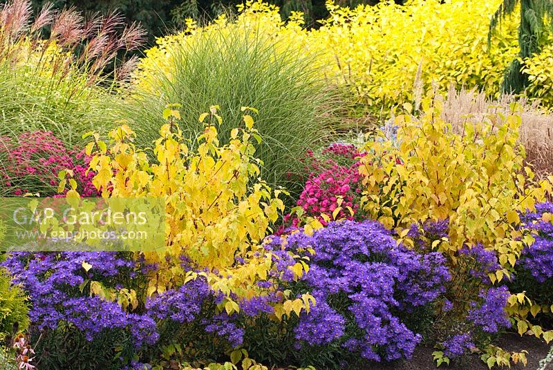 Aster amellus 'Veilchenkonigin' or 'Violet Queen', Cornus sanguinea 'Midwinter Fire', Aster novae-angliae 'Septemberrubin' syn. Aster 'September Ruby', Miscanthus sinensis 'Morning Light', Miscanthus sinensis 'Zebrinus' and Cornus alba 'Aurea' - Bressingham Gardens, Norfolk