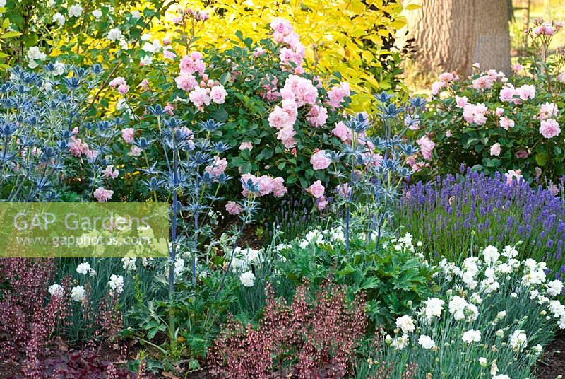 gap gardens mixed border with rosa 39 felicia 39 eryngium. Black Bedroom Furniture Sets. Home Design Ideas
