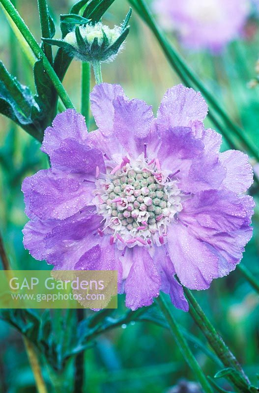Scabiosa caucasica 'Clive Greaves' - Scabious