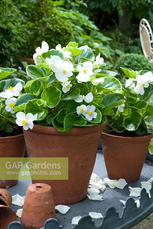 White Begonia semperflorens in terracotta pots displayed on table