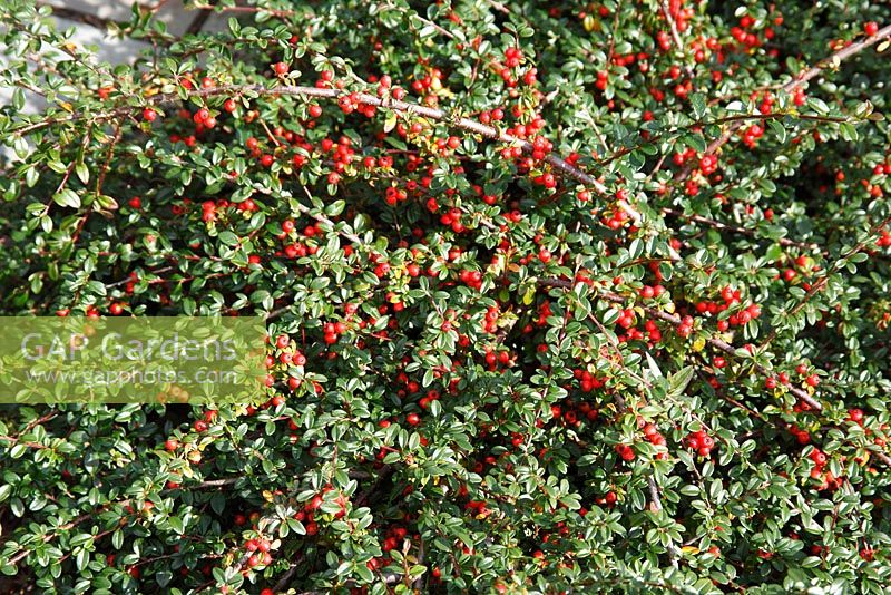 gap gardens cotoneaster x suecicus 39 coral beauty 39 image no 0169233 photo by dave bevan. Black Bedroom Furniture Sets. Home Design Ideas