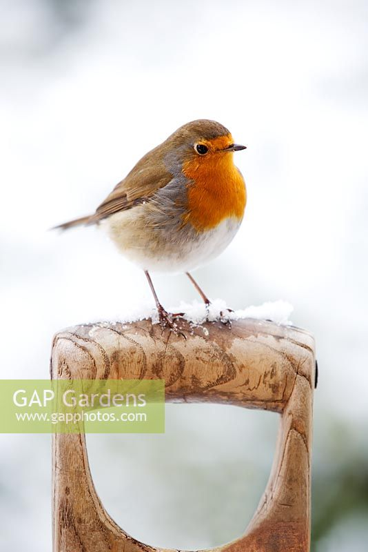 Robin perched on a garden fork handle with snow
