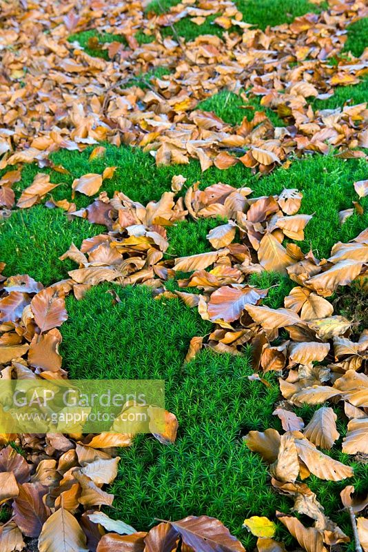 Moss growing amongst fallen beech leaves in autumn. Perrycroft, Herefordshire