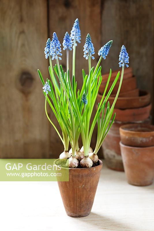 Gap gardens muscari grape hyacinths in terracotta plant pot image no 0170004 photo by - Planting hyacinths pots ...