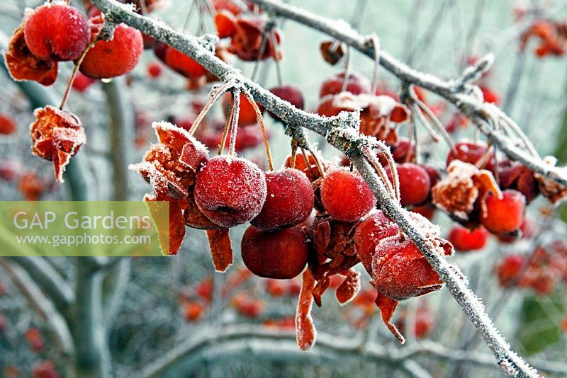 Malus 'Evereste' AGM - Crab apples with hoar frost in winter - the fruits start to disintegrate which allows birds to eat them more easily