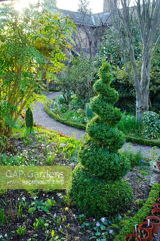 Box topiary spiral in cottage garden in Winter. The Crossing House, Shepreth, Cambridge.