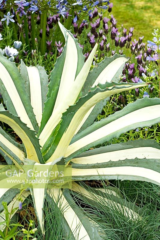 Agave Americana 'Medio Picta' - RHS Chelsea Flower Show 2007