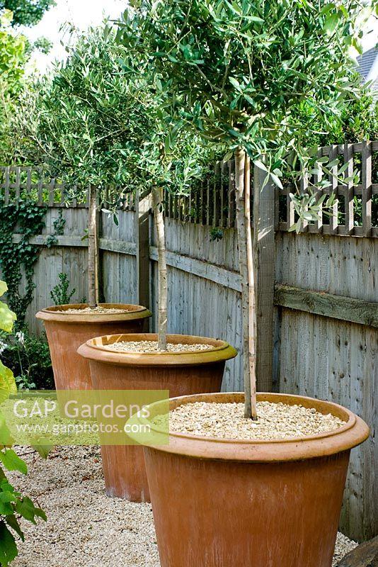 GAP Gardens - Standard trees growing in large terracotta ...