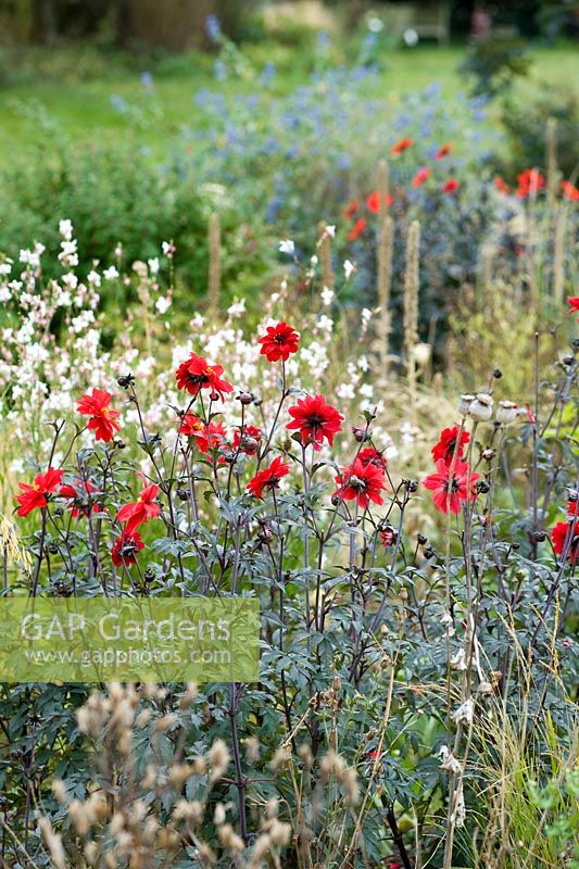 Dahlia 'Bishop of Llandaff' in border with Gaura lindheimeri. Cambridge Garden Plants, Cambridge